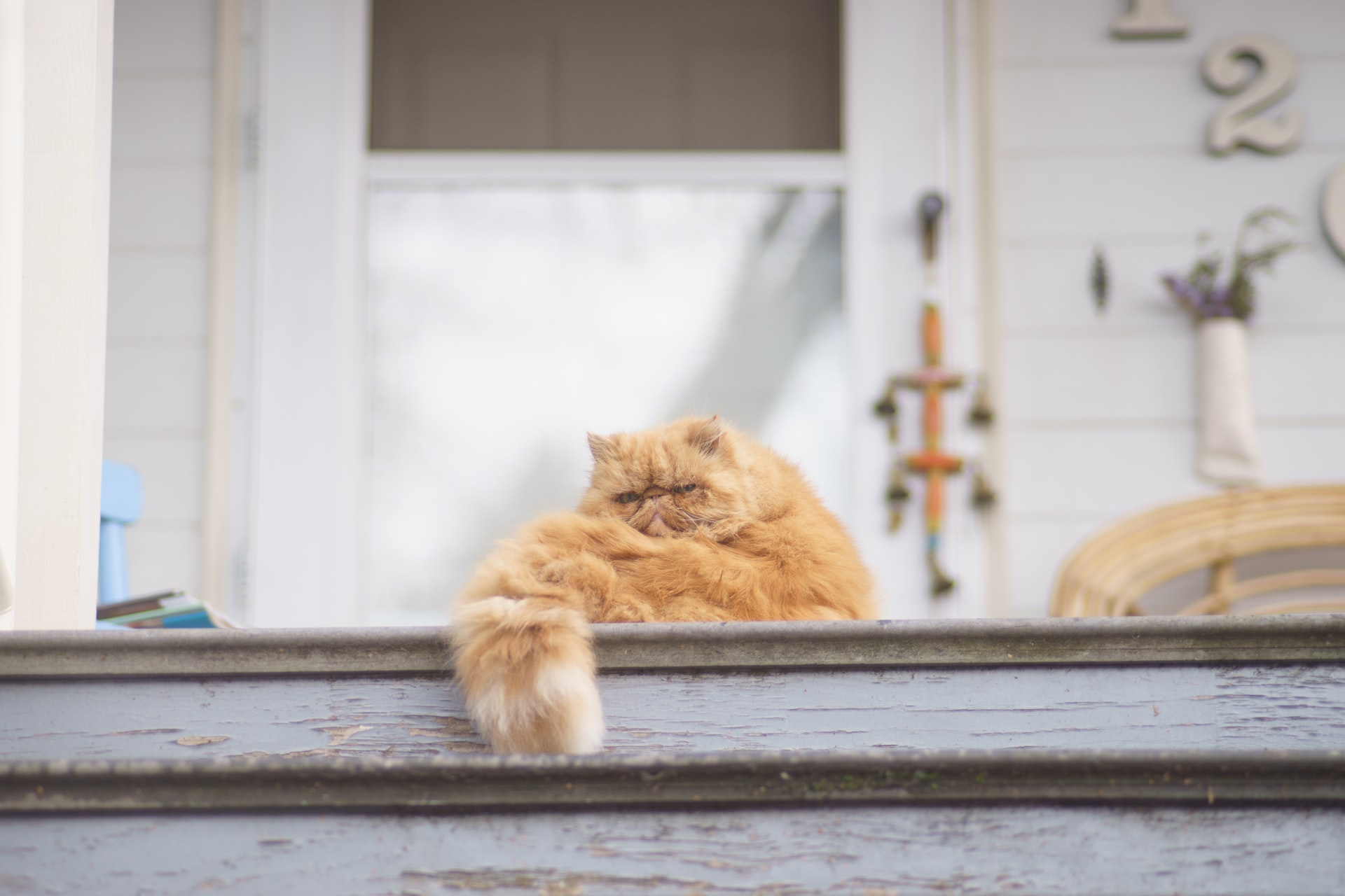 Descubra tudo sobre a raça de gato persa