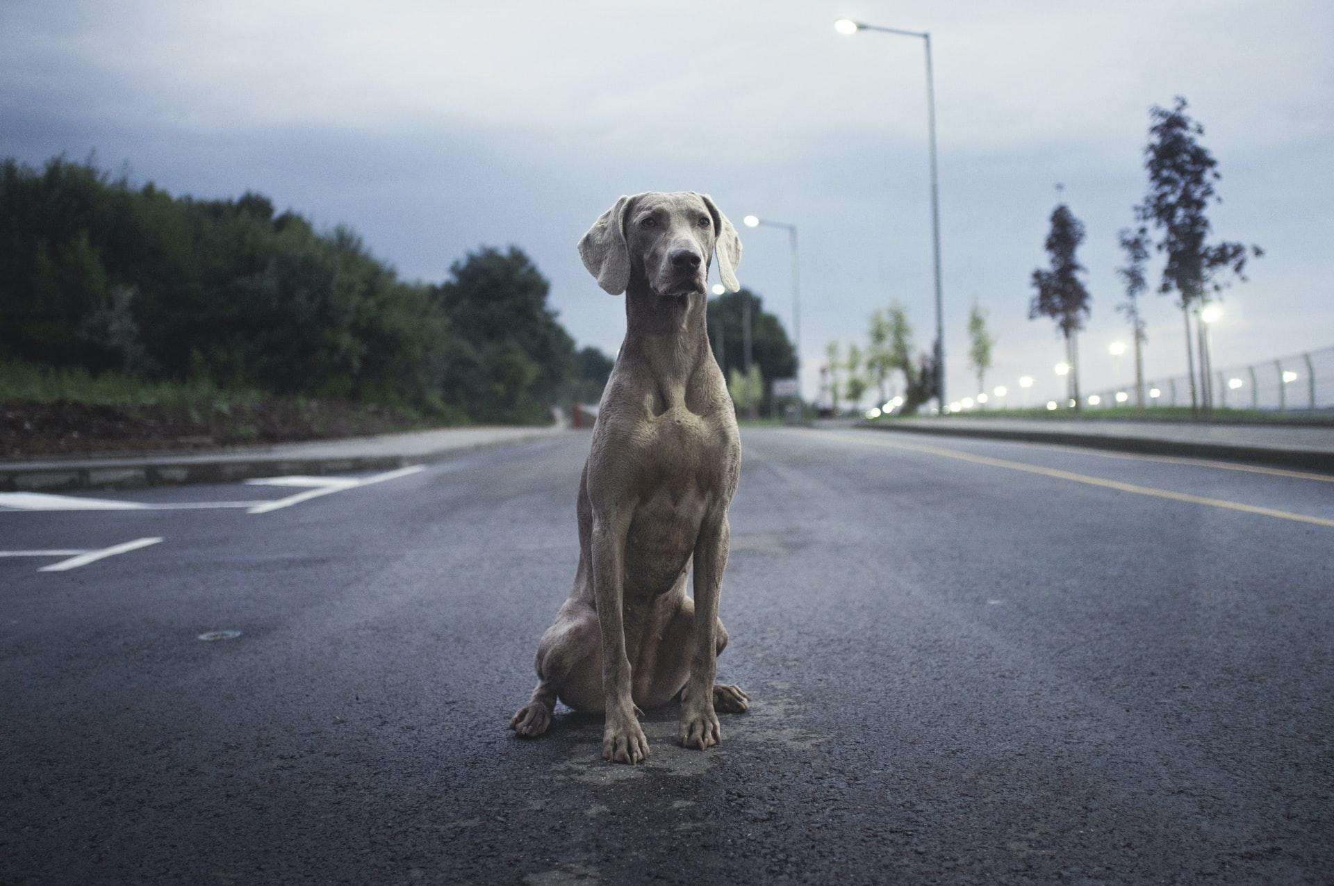 Top 20 raças de cachorro raras do mundo