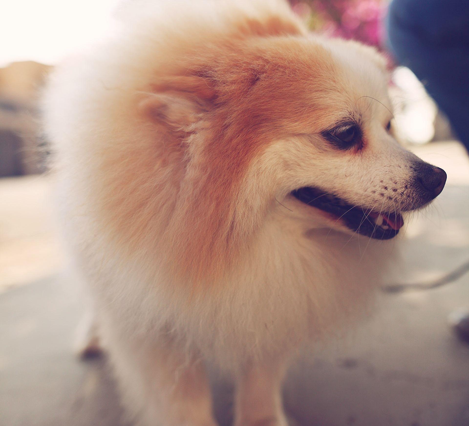 Quanto custa um cachorro da raça Lulu da Pomerânia?