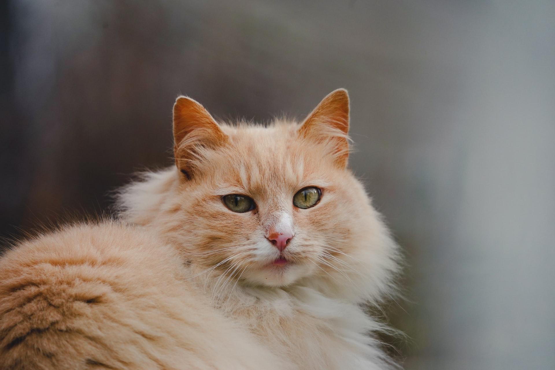 Como criar um Gato Angorá?