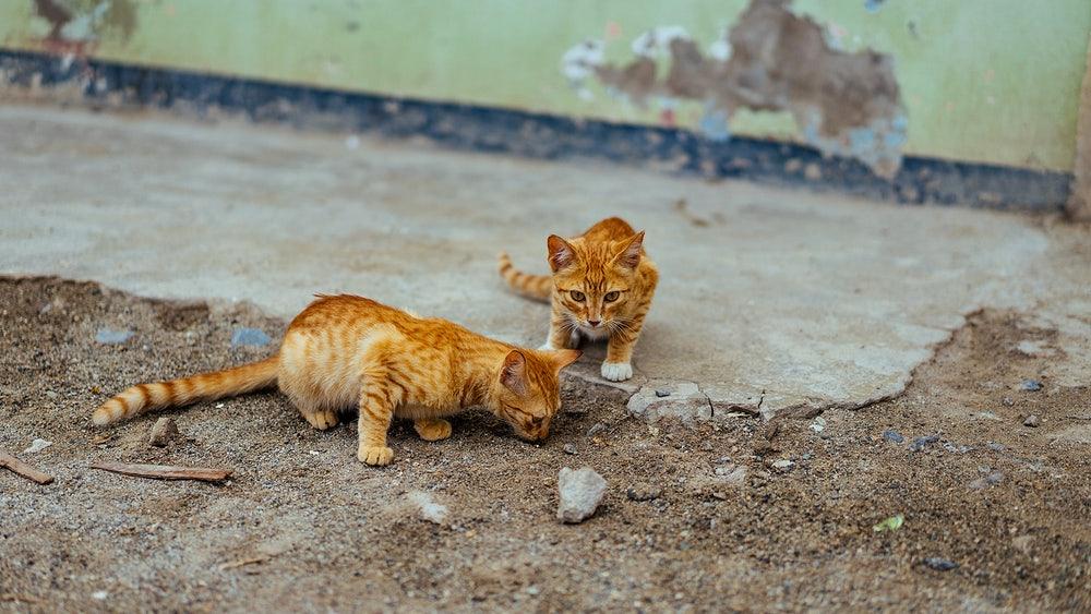 Como adaptar gato com outro gato