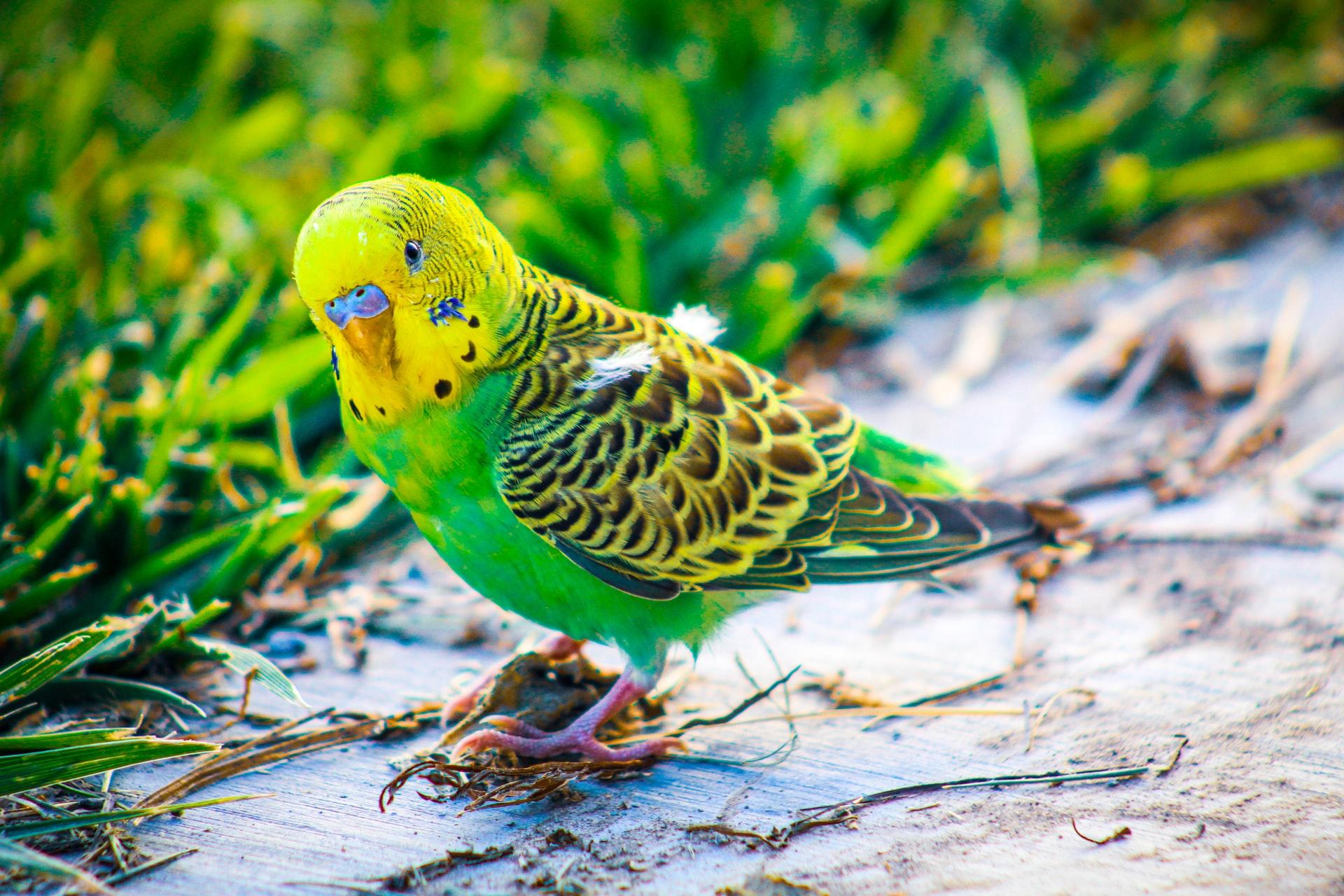 Aves exóticas domésticas