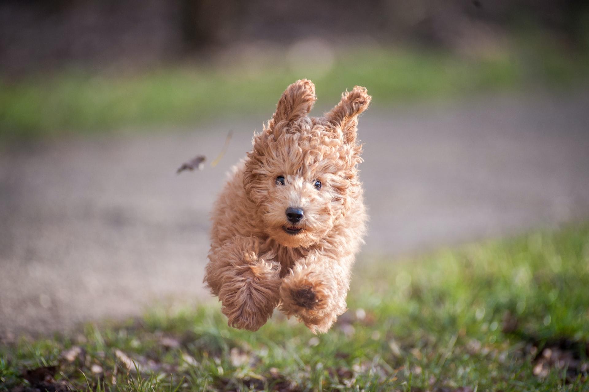 Cachorro poodle toy