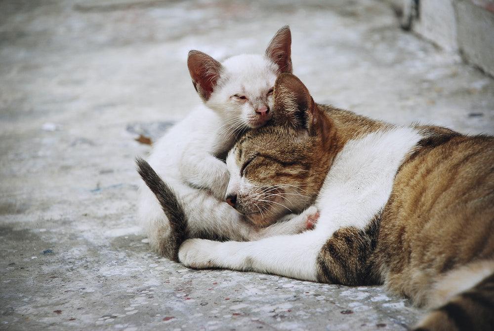 Adaptar gato com outro gato