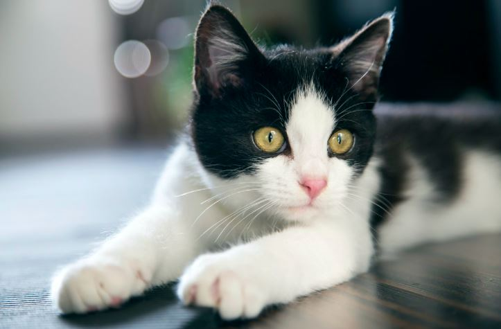 Veja os cuidados com pelos dos gatos