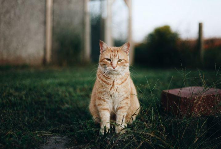 Raças de gatos preferidas