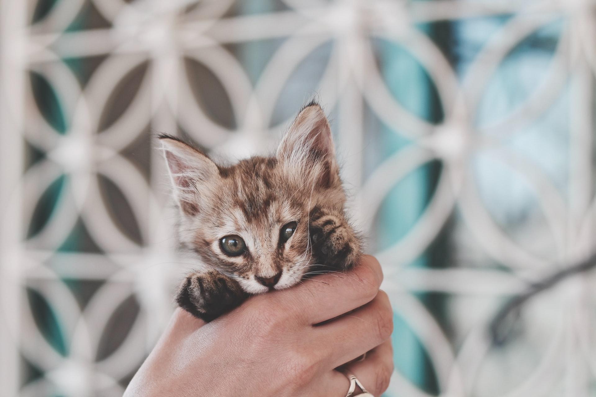 Veja com quantos dias gatos abrem os olhos