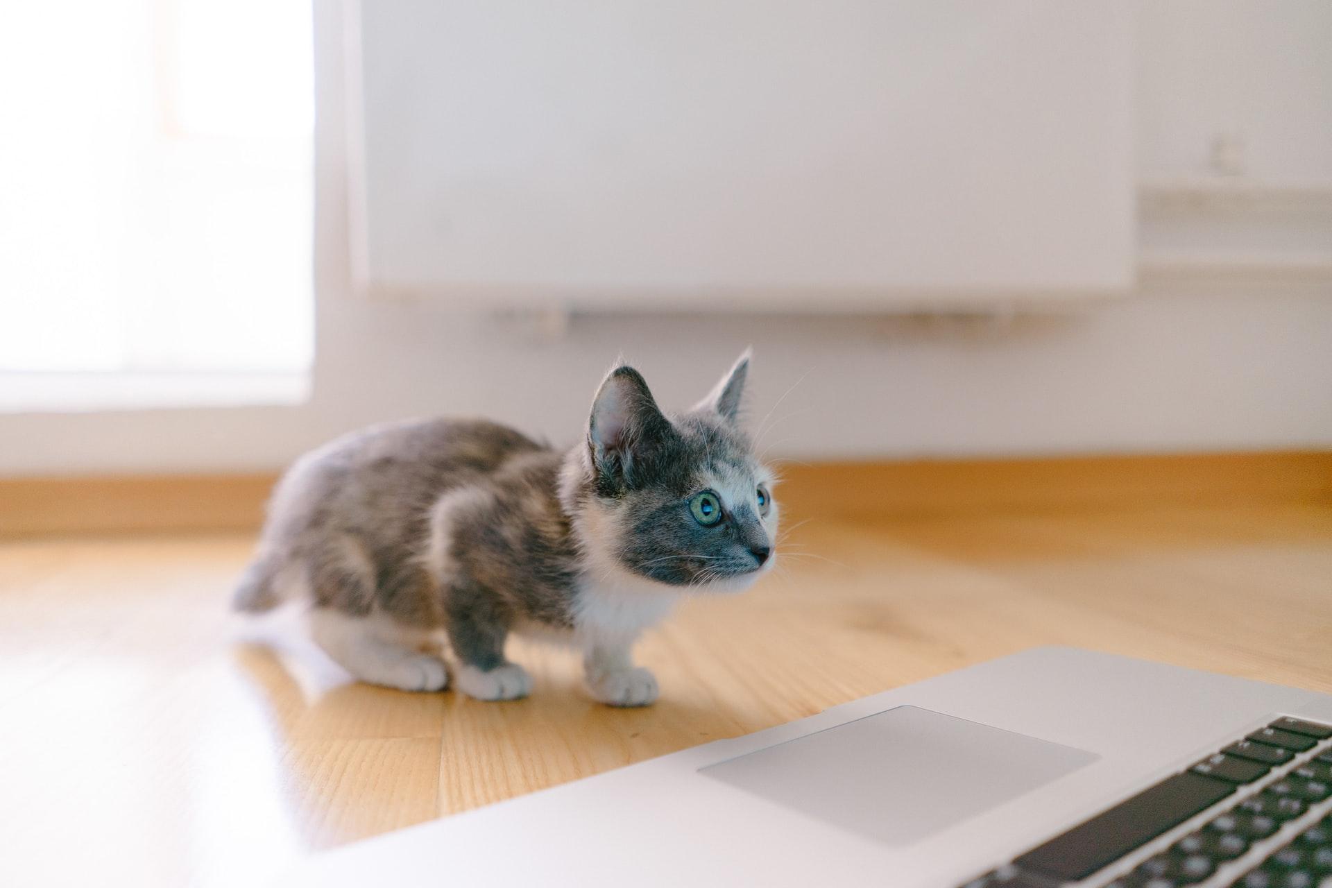 Porque procurar uma adoção de gatos?