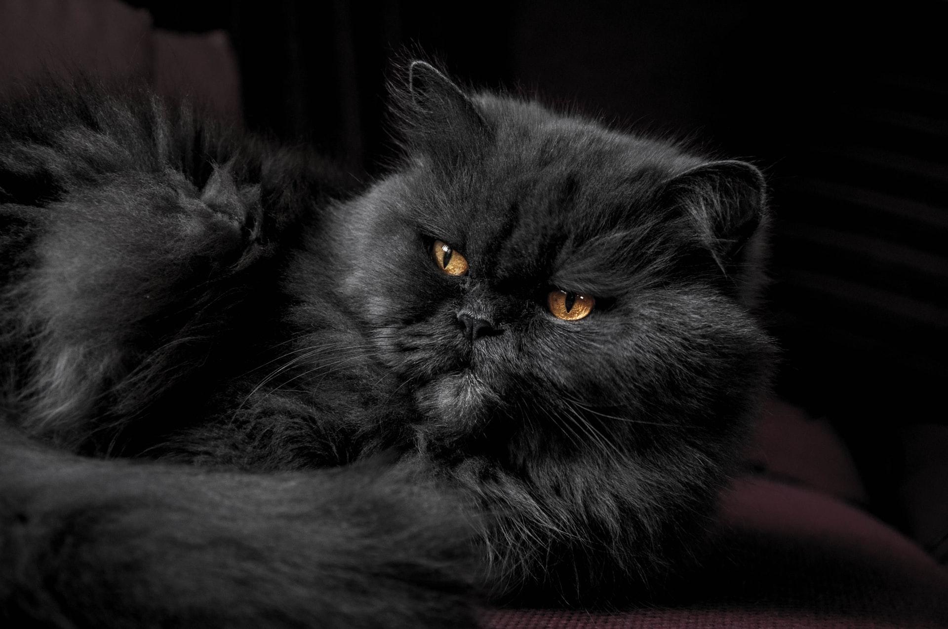 Quanto custa um gato dessa raça?