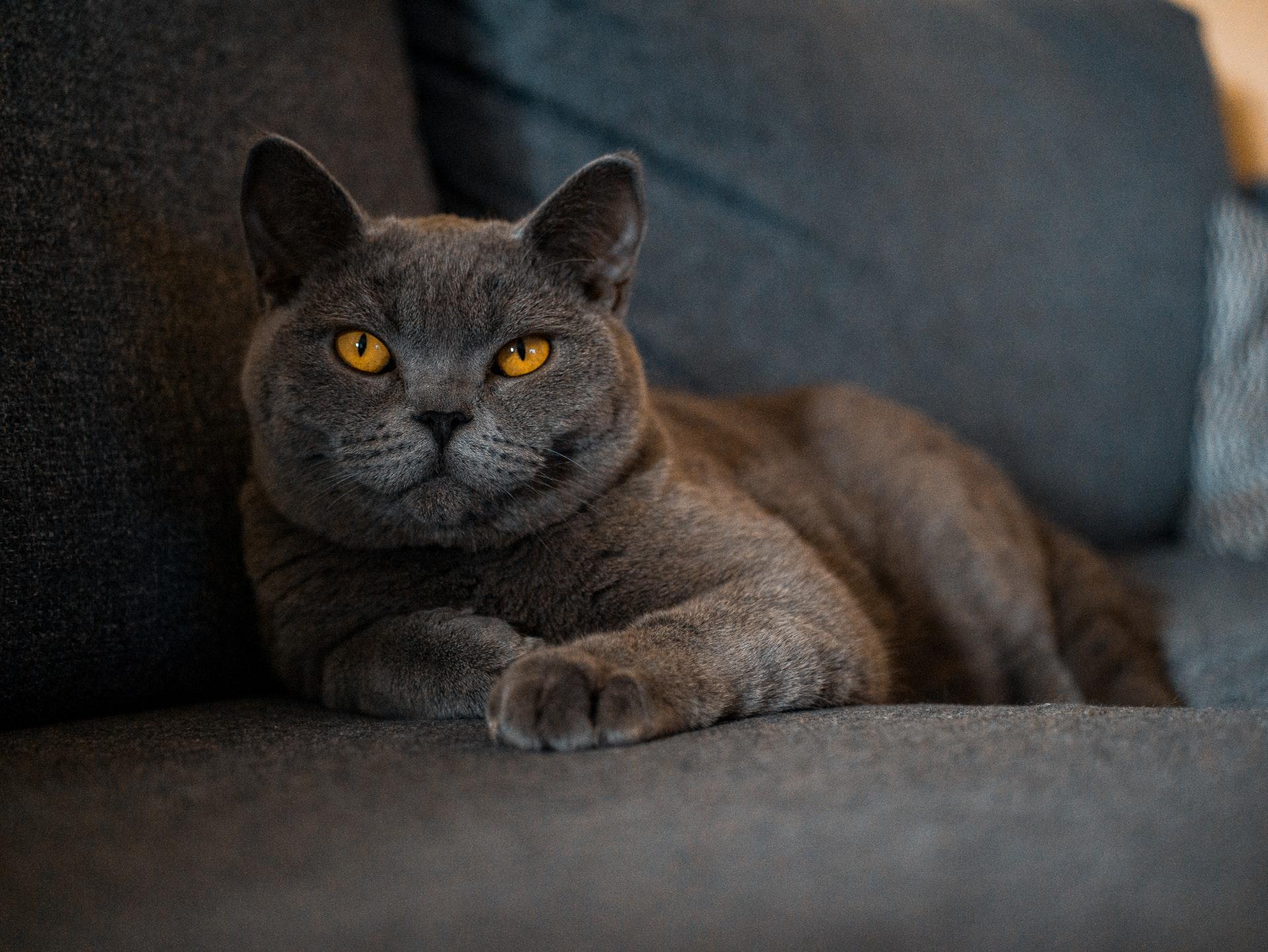 Qual é o gato de pelo curto inglês?