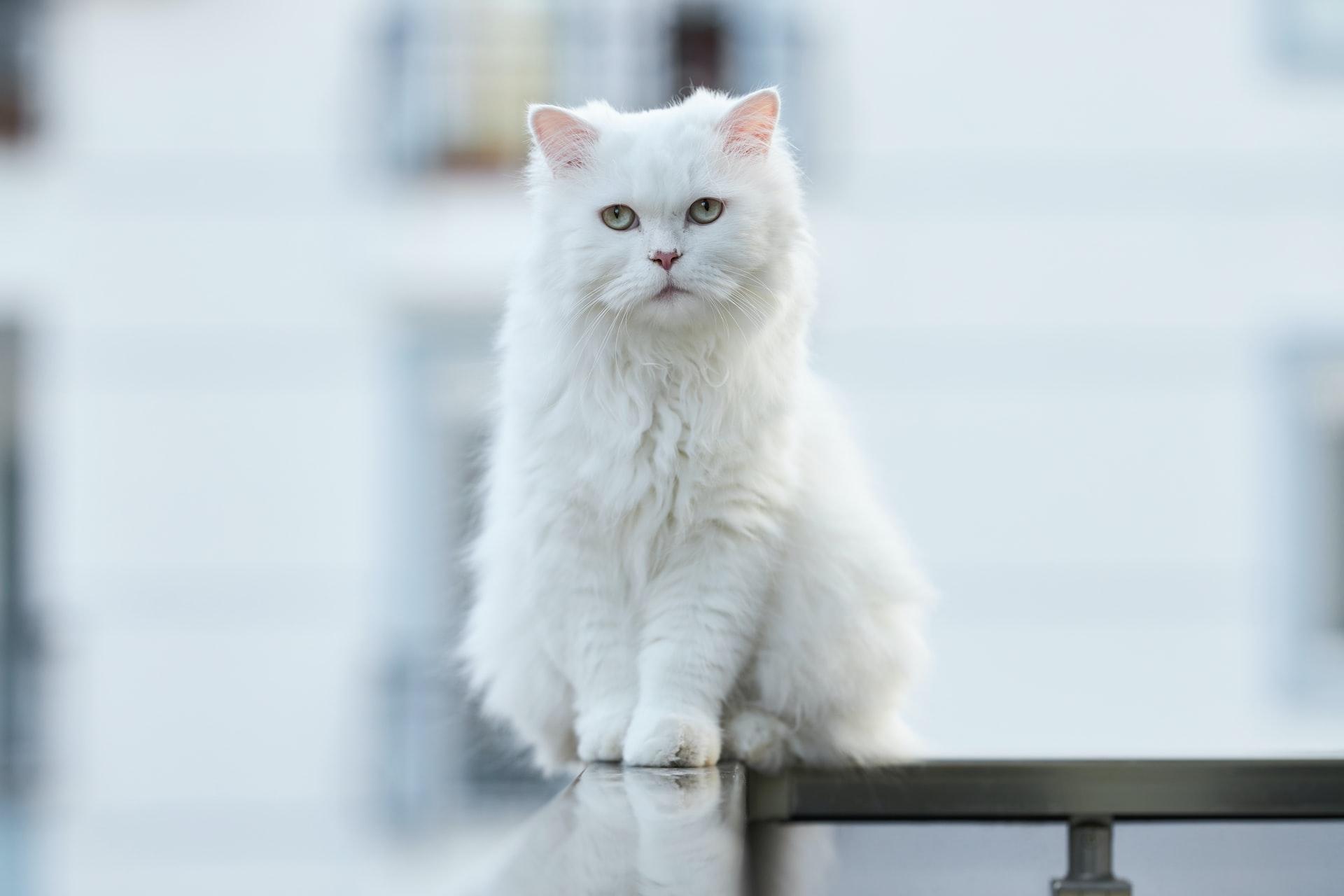 Descubra tudo sobre a raça Gato Angorá