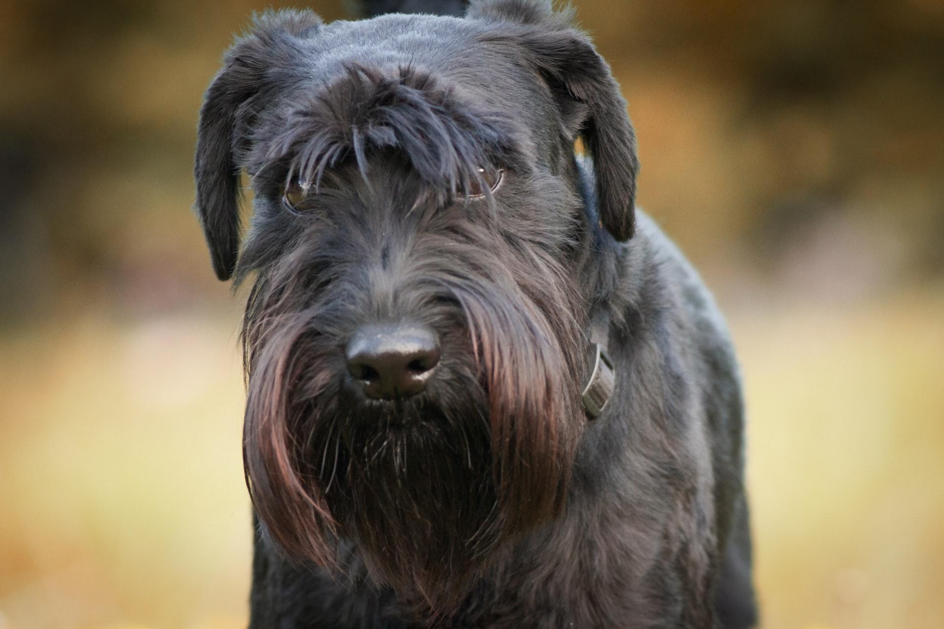 Descubra tudo sobre as raças de cachorro raras que existem