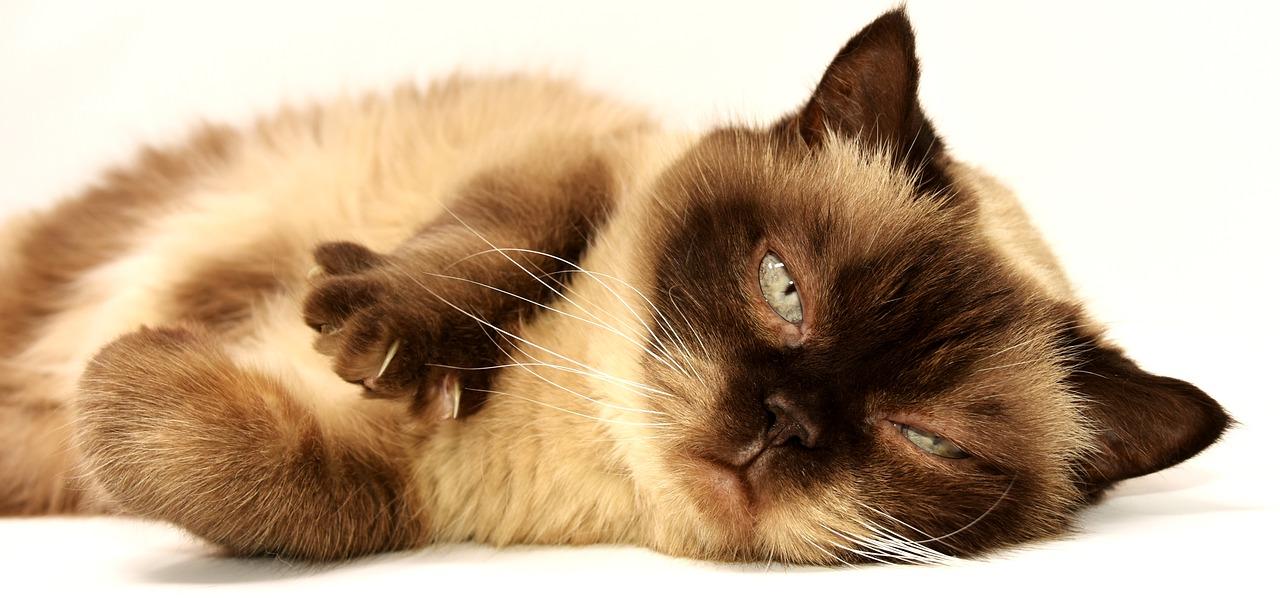 Saiba tudo sobre a alimentação crua para gatos