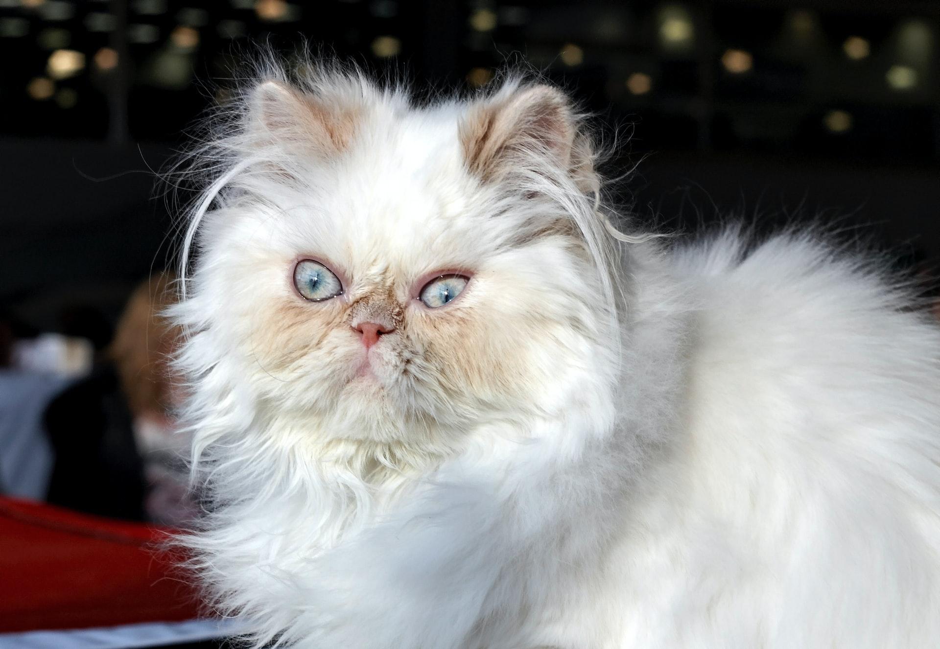 Qual é o gato persa?