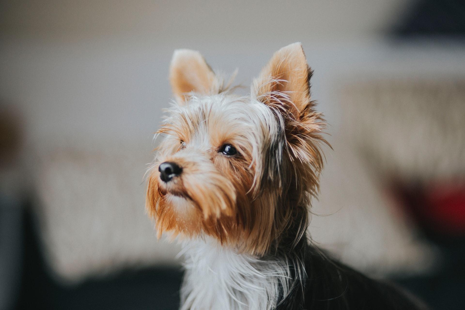 Quanto custa um cachorro da raça Yorkshire?