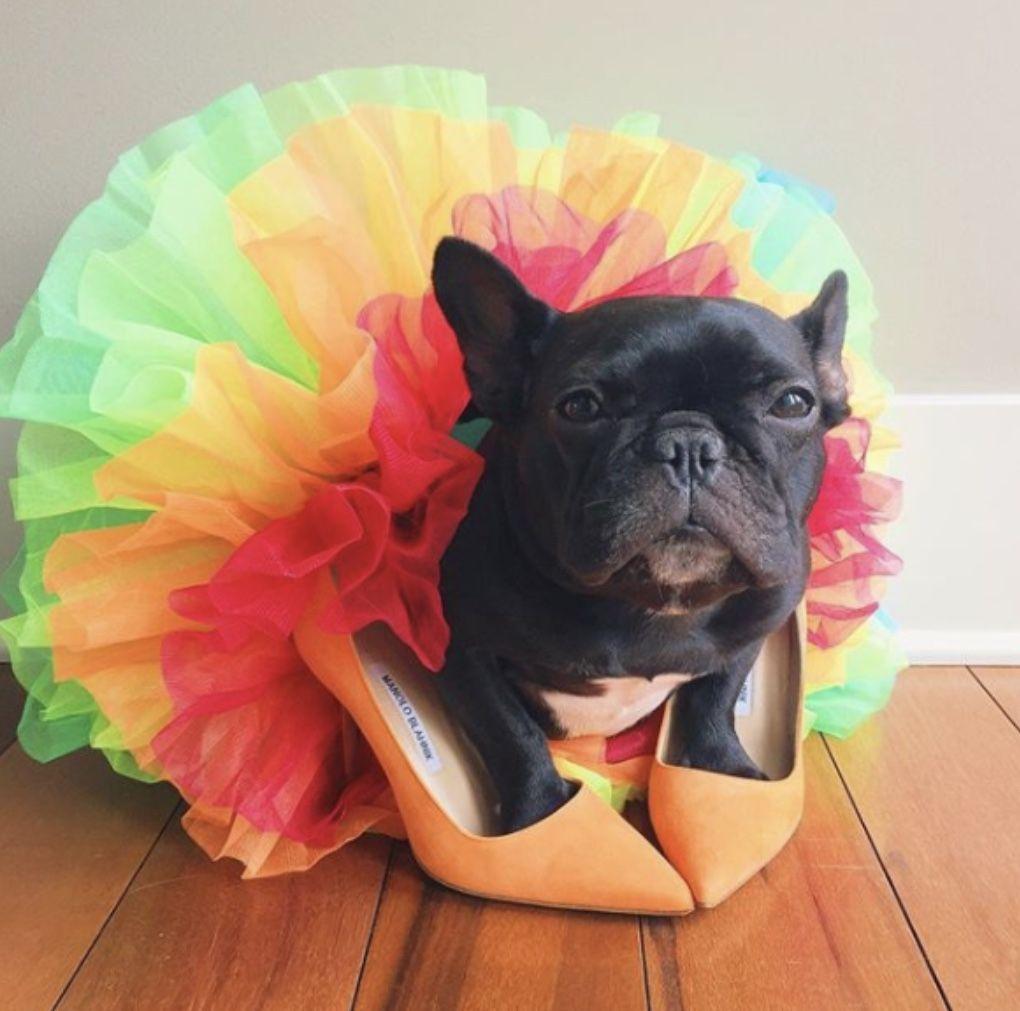 Cachorros famosos no Instagram - Trotter - @trotterpup